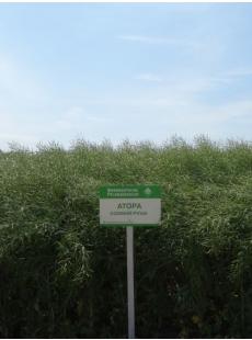 Семена озимого рапса Атора