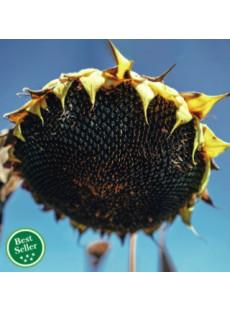 Семена подсолнечника АТИЛЛА