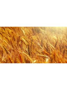 Семена пшеницы озимой Симонида