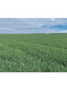 Насіння пшениці озимої НС 40 С