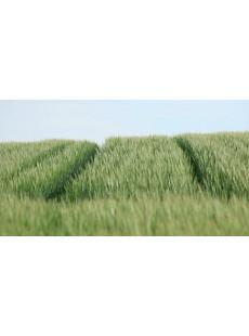 Насіння пшениці озимої НС Футура