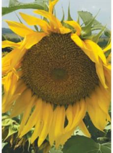 Насіння соняшнику Грансол SU+OR6