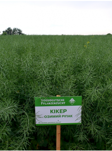 Семена озимого рапса Кикер