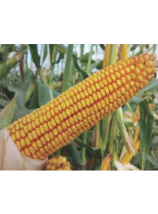 Насіння кукурудзи НС 3030