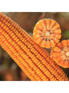 Насіння кукурудзи КАНЬЙОНС