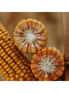 Насіння кукурудзи КВС ГЕНДАЛЬФ