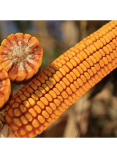 Насіння кукурудзи КЕЛТІКУС