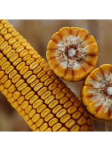 Насіння кукурудзи КВС КУМПАН