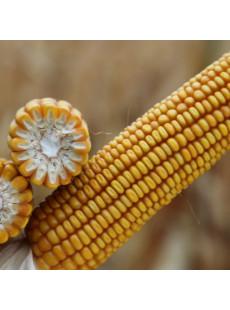 Семена кукурузы БИГБИТ