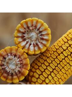 Семена кукурузы КВС РИКАРДО