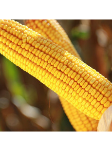 Семена кукурузы КАРПАТИС