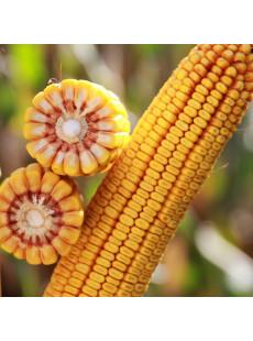 Насіння кукурудзи КВС КАШЕМІР