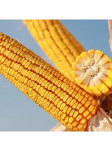 Семена кукурузы КВС КАВАЛЕР