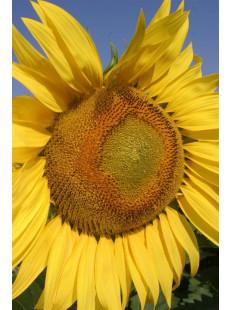 Насіння соняшнику НХК12М010