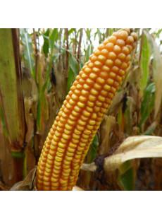 Семена кукурузы MAS 15.T