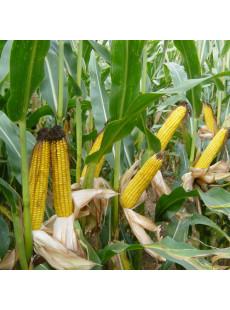 Насіння кукурудзи AMELIOR