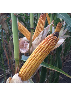 Насіння кукурудзи MAS 25.F