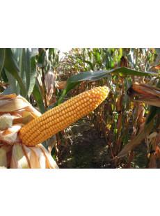 Семена кукурузы VASILI