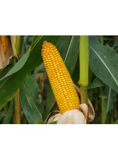 Семена кукурузы MAS 24.C