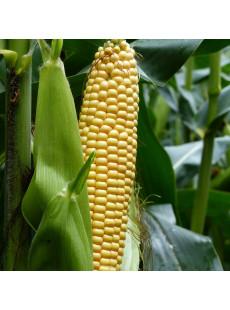 Насіння кукурудзи MAS 28.A