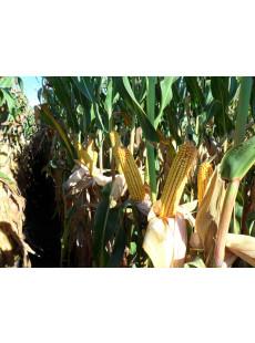 Насіння кукурудзи MAS 36.A