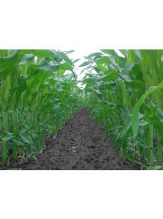 Насіння кукурудзи MAS 30.M