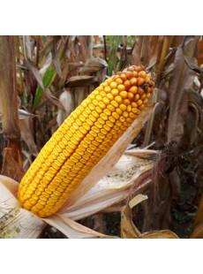 Насіння кукурудзи MAS 34.B