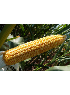 Насіння кукурудзи MAS 44.A