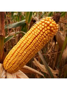 Семена кукурузы MAS 48.L