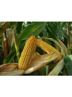Насіння кукурудзи MAS 47.P
