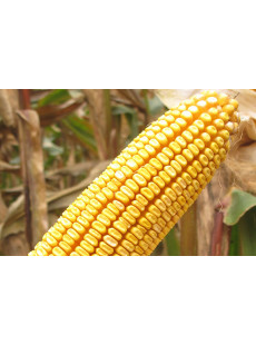 Семена кукурузы Атлас