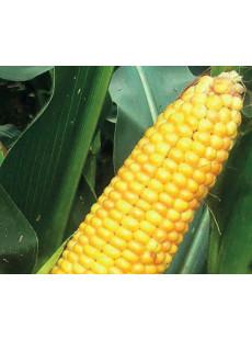 Насіння кукурудзи Ассіст