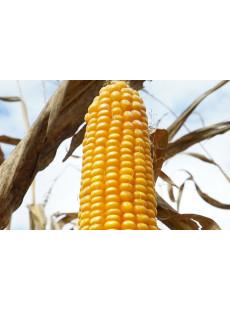 Семена кукурузы Манакор