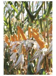 Насіння кукурудзи Перреро