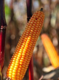 Семена кукурузы Артуро