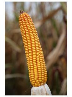 Насіння кукурудзи Альбірео