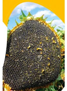 Семена подсолнечника Хайсан 162 ИТ